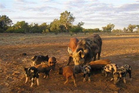Feral pig control: 1080 baiting | Agriculture and Food