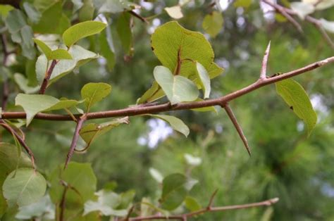 Bradford Pear – Wildly Sprouting Thorny Bushes   Walter