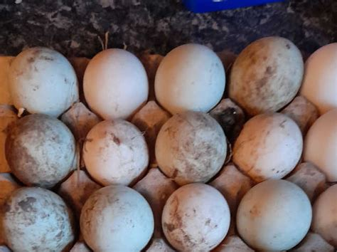 Fertile Duck Eggs in Doncaster on Freeads Classifieds