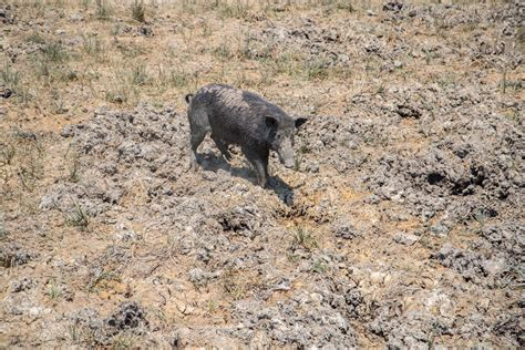 Managing feral pigs on Cape York | Northern Australia