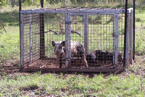 South East Queensland Trapping | Feral Pig