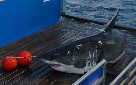Great white shark tracker: Mary Lee spotted closer to