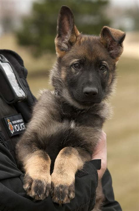 20 Cute and Intelligent Police Dog Moves Captured