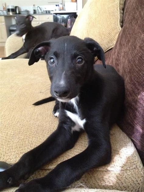 Whippet/ Greyhound/ Blue Merle puppies for sale
