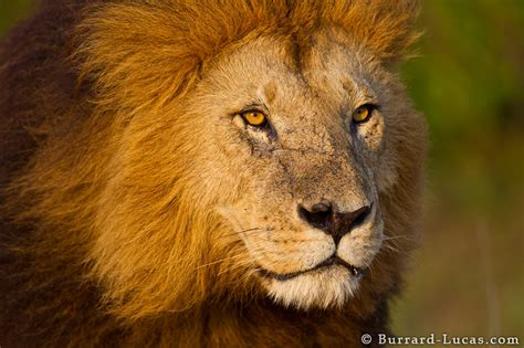 Free Lion Face Images, Download Free Clip Art, Free Clip