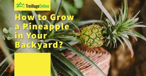 How to Grow a Pineapple in Your Backyard