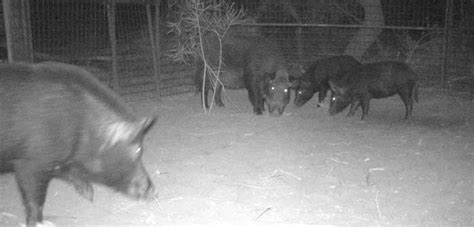Closing the gate on feral pigs in Victoria's remote