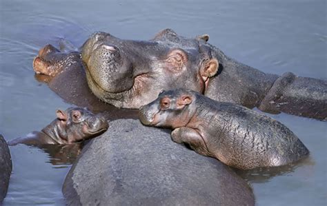 21 Baby Hippo Pictures That Will Make You Smile In Ways