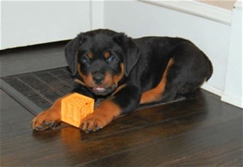 German Rottweiler Puppies Dog For Sale | Akira and Diesel