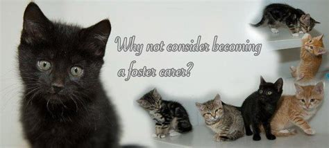 Cat for adoption - Foster Homes Needed for Adult Cats and
