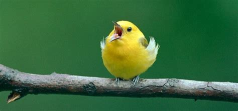 Birds Chirping Sound Effect   Free Sound Clips   Animal Sounds