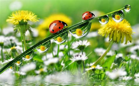 Morning Dew Drops Grass With Water Ladybug Yellow Meadow