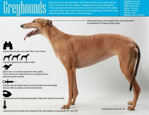 69 best All Things Greyhound images on Pinterest