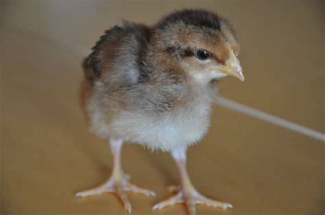 New Chicks(ens), help me name them! Clear pictures of them