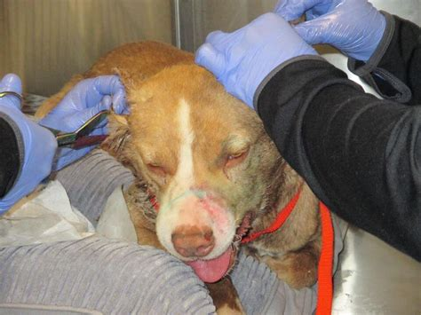 Dog discovered with legs strapped together and glue poured