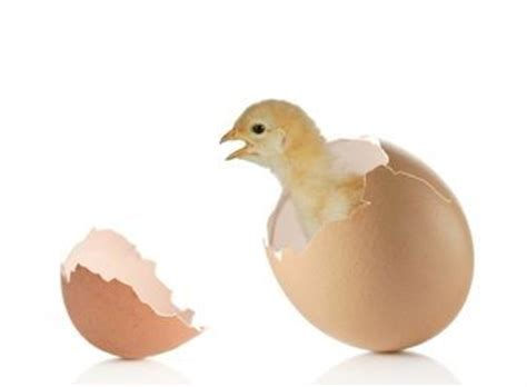 Incubating Chicken Eggs- A Quick Guide