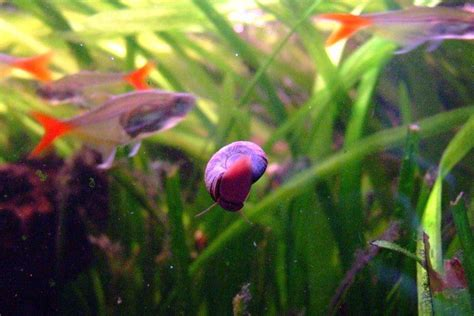 Details on raising Ramshorn snails including breeding and