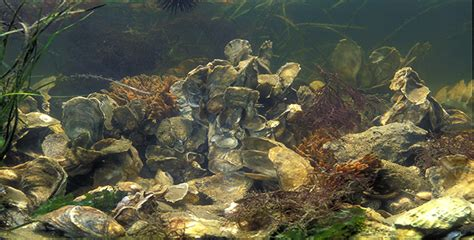 The View of an Oyster Sanctuary - Chesapeake Bay Foundation