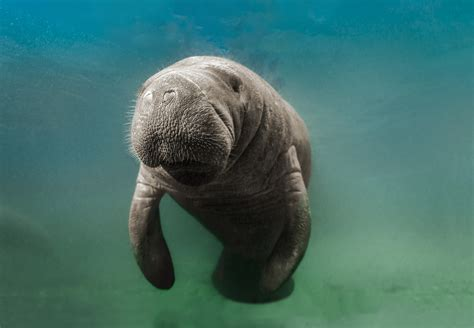 How to Tell the Difference Between Manatees and Dugongs