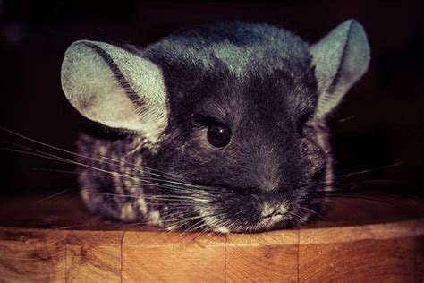10 Pictures That Prove Chinchillas Are The Cutest Rodents