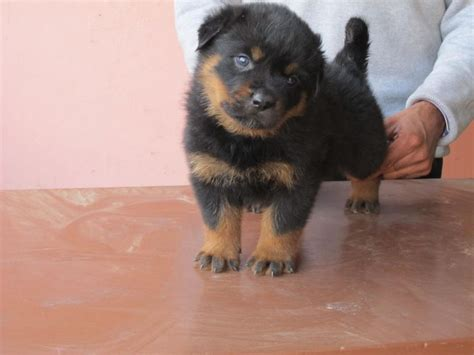 Rottweiler Puppies For Sale In Macon Ga | Top Dog Information